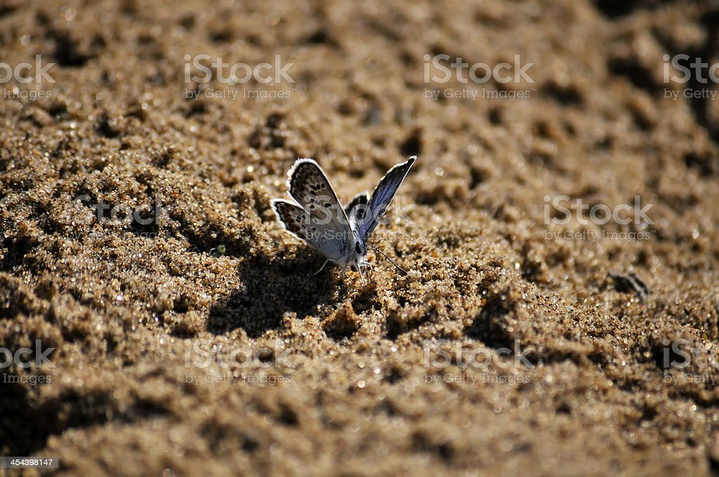 little blue butterfly (Lycaenidae) royalty-free stock photo