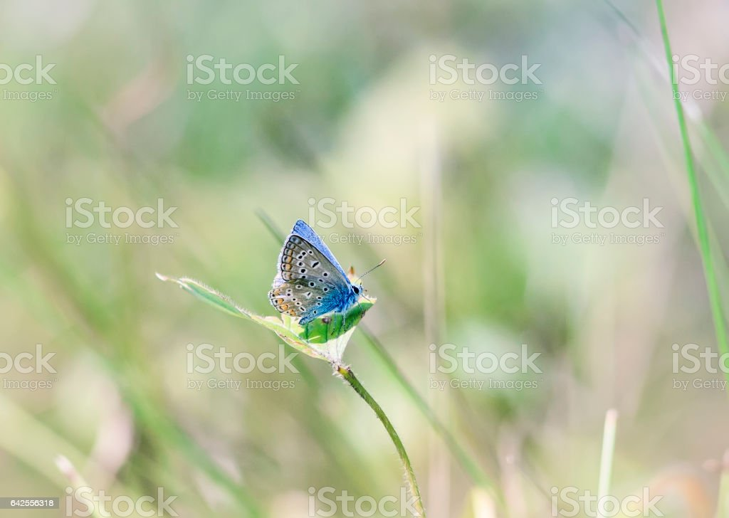 little blue butterfly sitting on a blade of grass on a sunlit meadow stock photo