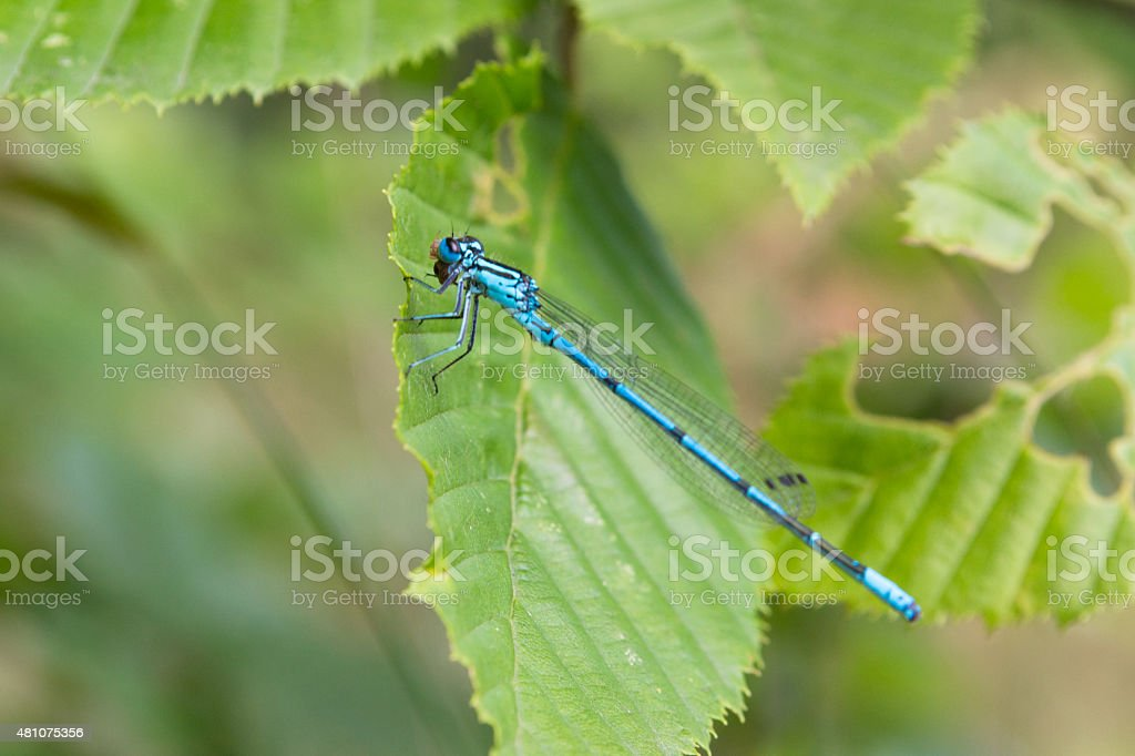 Little blue dragonfly stock photo