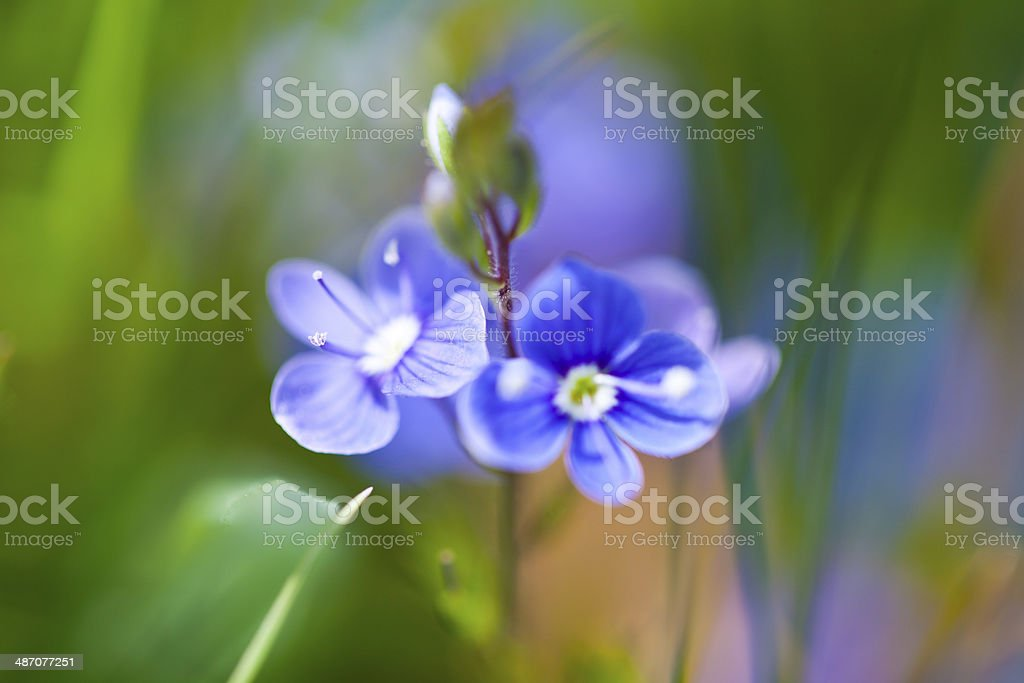 Little blue flowers stock photo