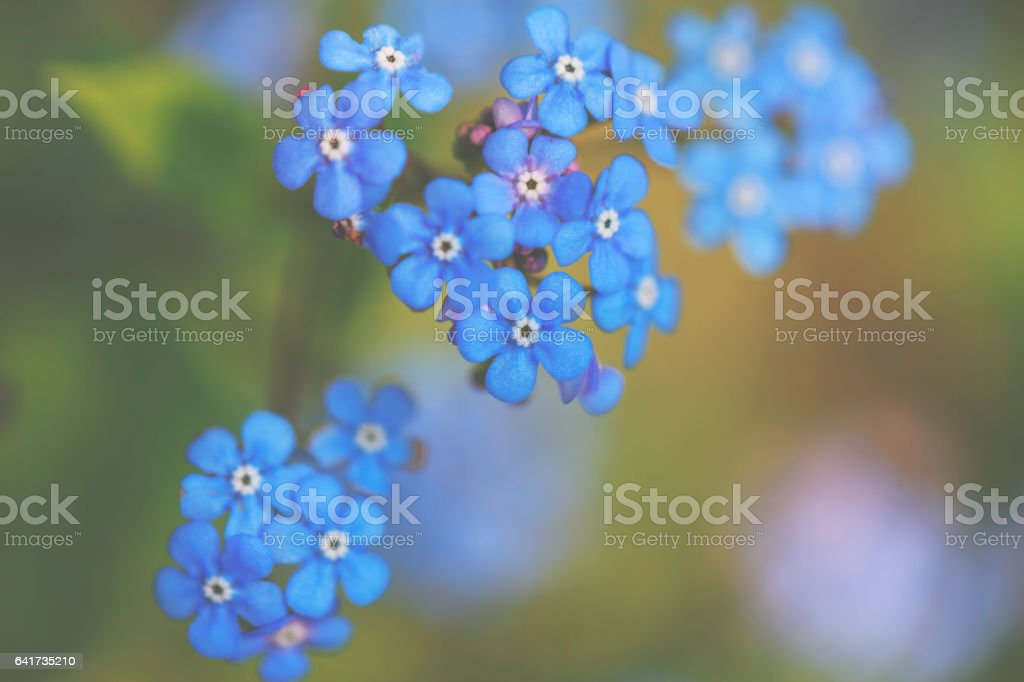 Little blue forget-me-not in spring stock photo