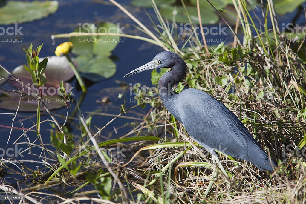 Little Blue Heron and a Yellow Water Lily stock photo
