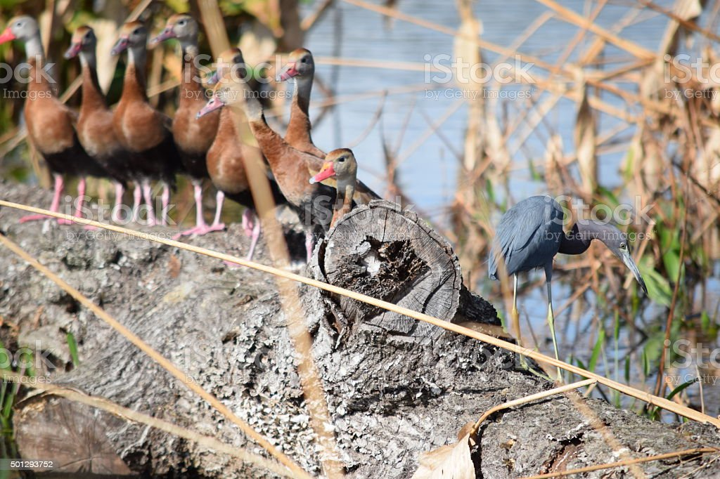 Little Blue Heron and Black Bellied Whistling Ducks stock photo