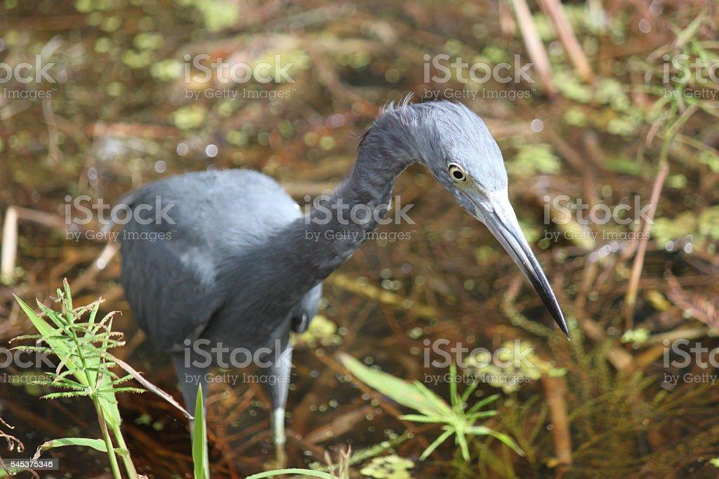 Little Blue Heron Bird stock photo
