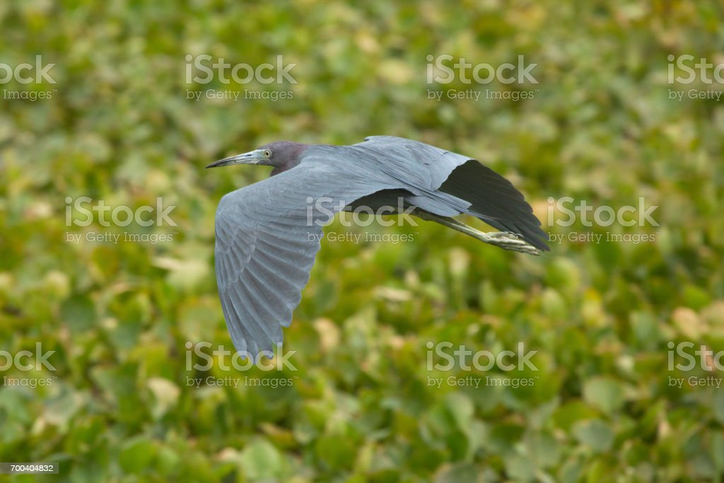 Little blue heron flying over a swamp in Christmas, Florida. stock photo