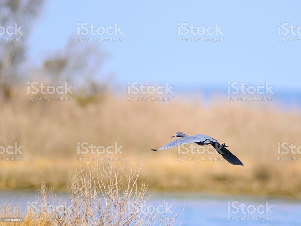 Little Blue Heron Gliding stock photo