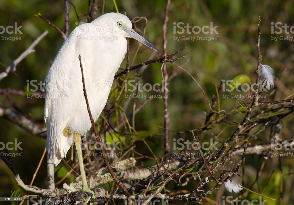 Little Blue Heron - Immature is White stock photo