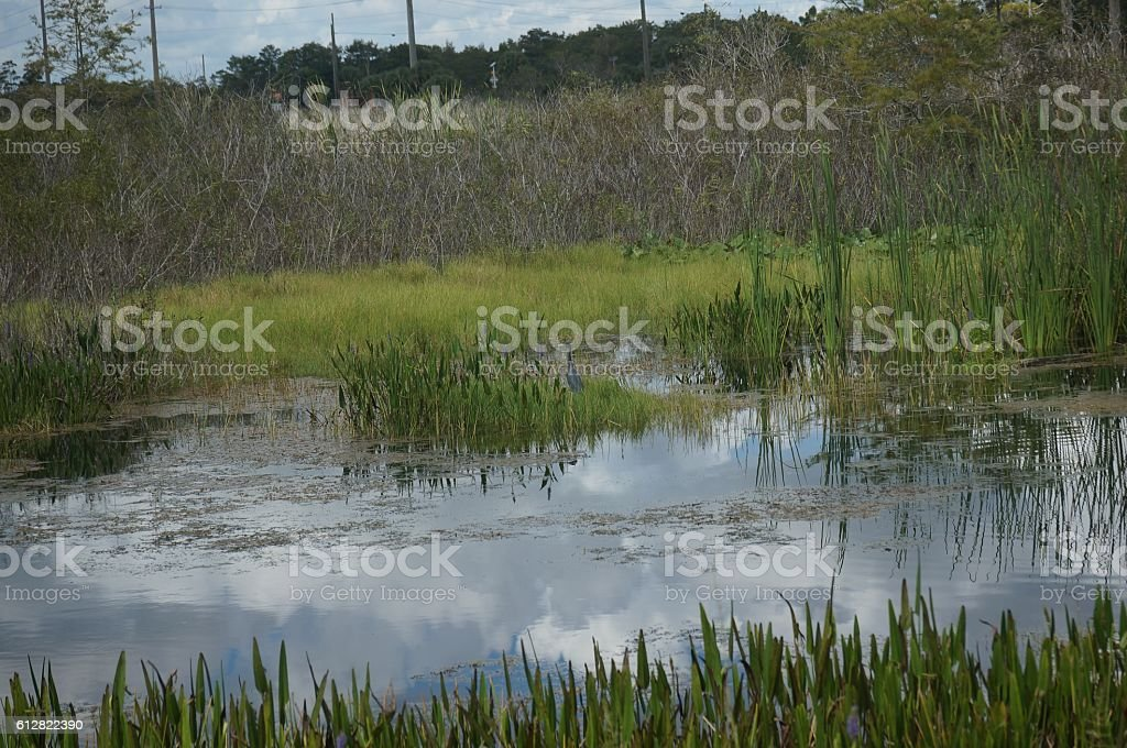 little blue heron in the swamp stock photo