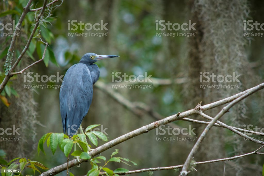 Little Blue Heron in the Trees stock photo