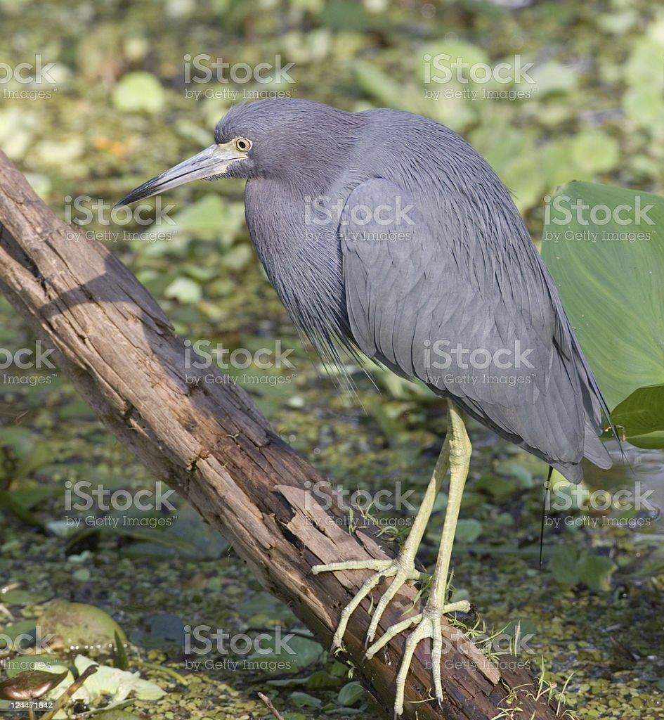 Little Blue Heron in Wetland stock photo