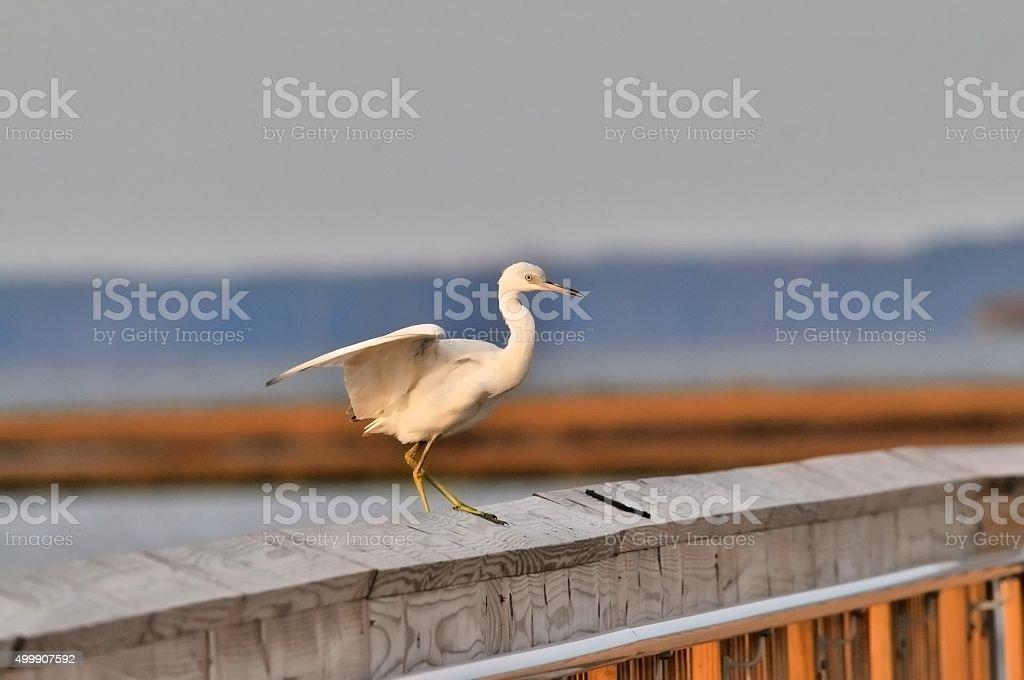 Little Blue Heron Landing stock photo