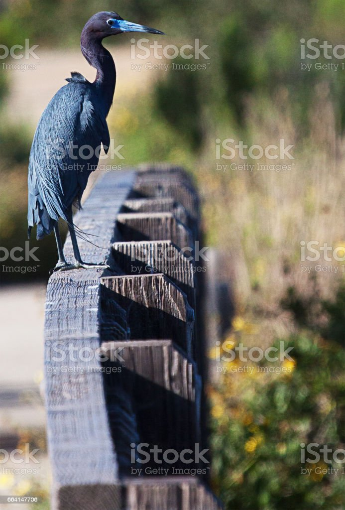 Little blue heron on a fence stock photo