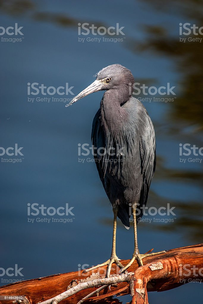 Little Blue Heron perched on a branch stock photo