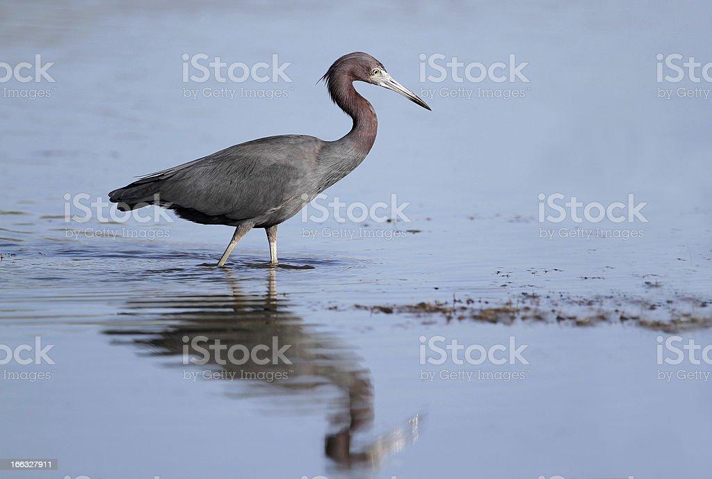 Little Blue Heron royalty-free stock photo