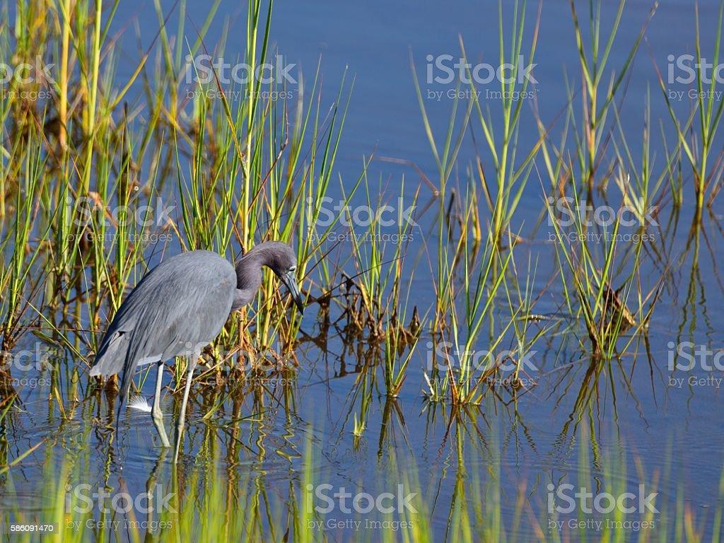 Little Blue Heron stock photo