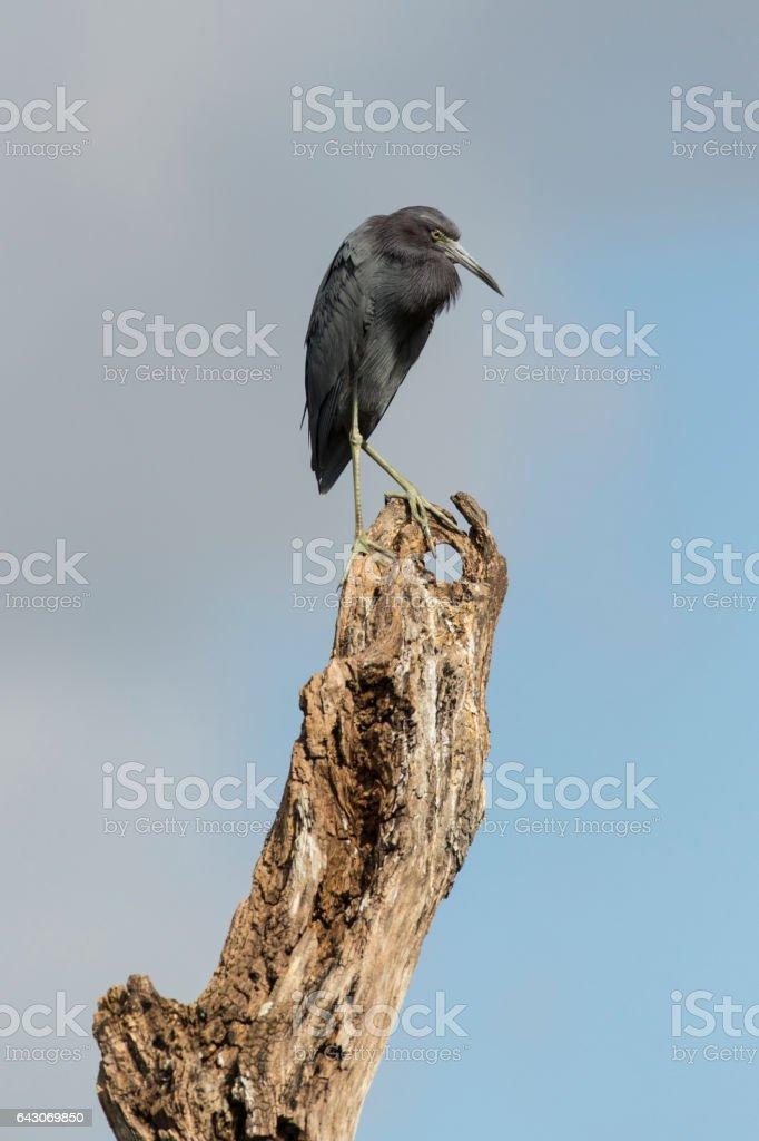'Little Blue Heron' stock photo