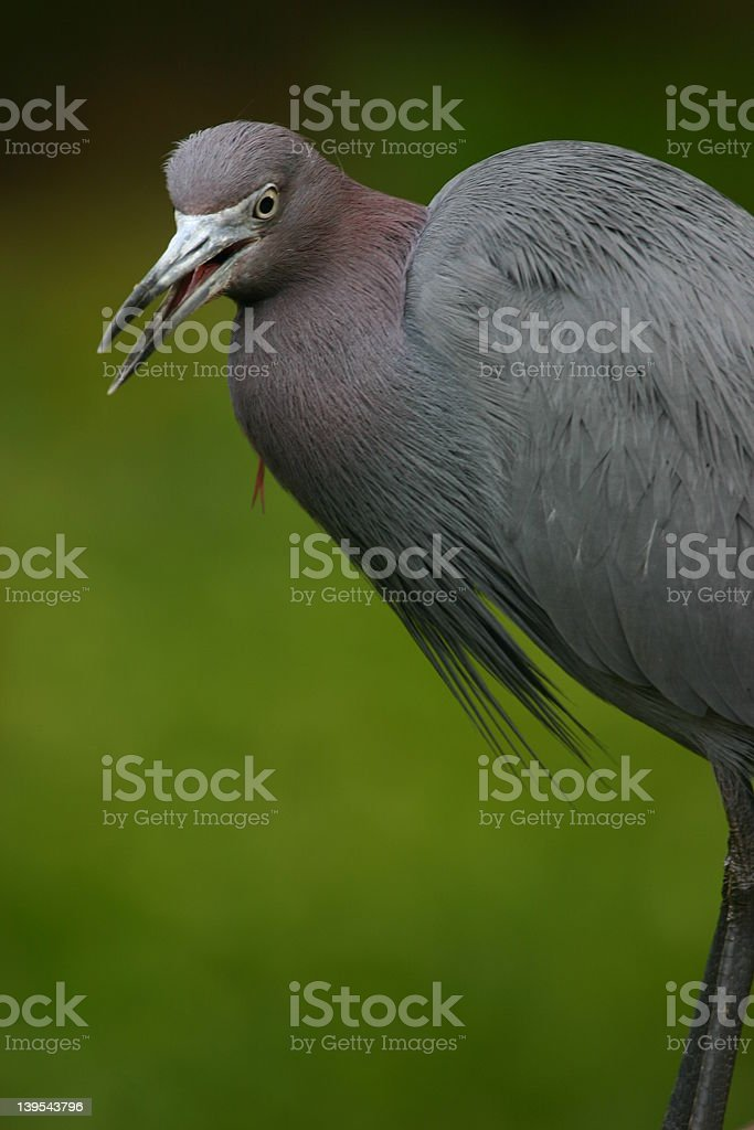 Little blue heron with open mouth royalty-free stock photo