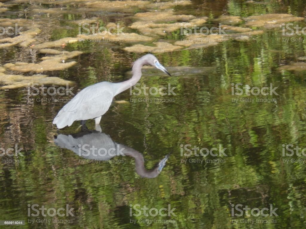Little Blue Heron with Reflection stock photo