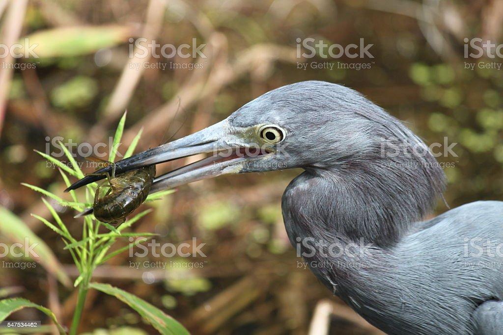 Little Blue Heron with Shrimp stock photo