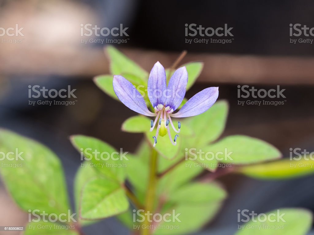 Little Blue Unwanted Flower Blooming stock photo