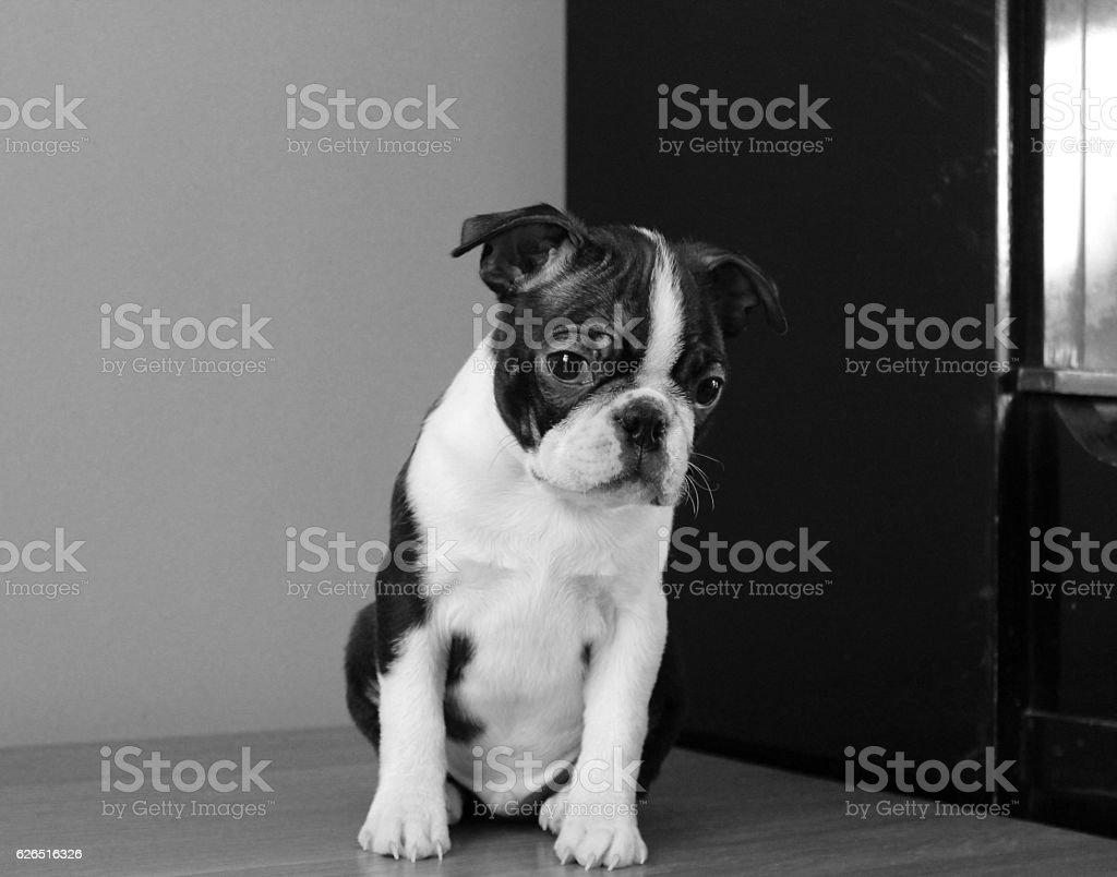 Little boston terrier puppy black and white stock photo