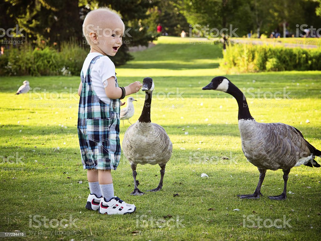 Little boy feeding geese in local park stock photo