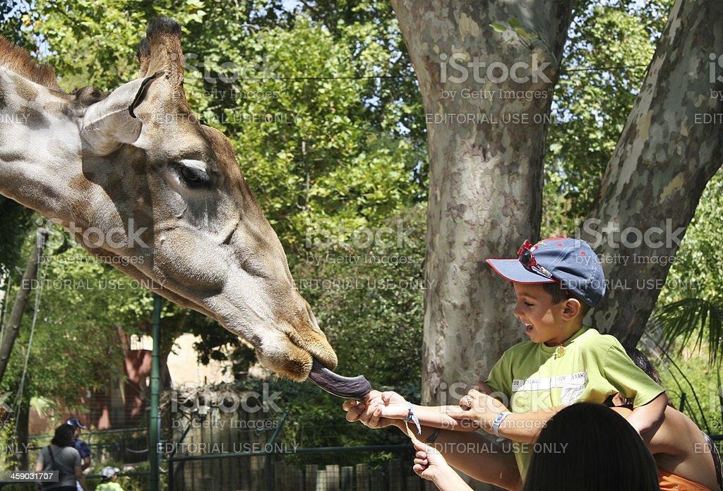 little boy feeding giraffe royalty-free stock photo