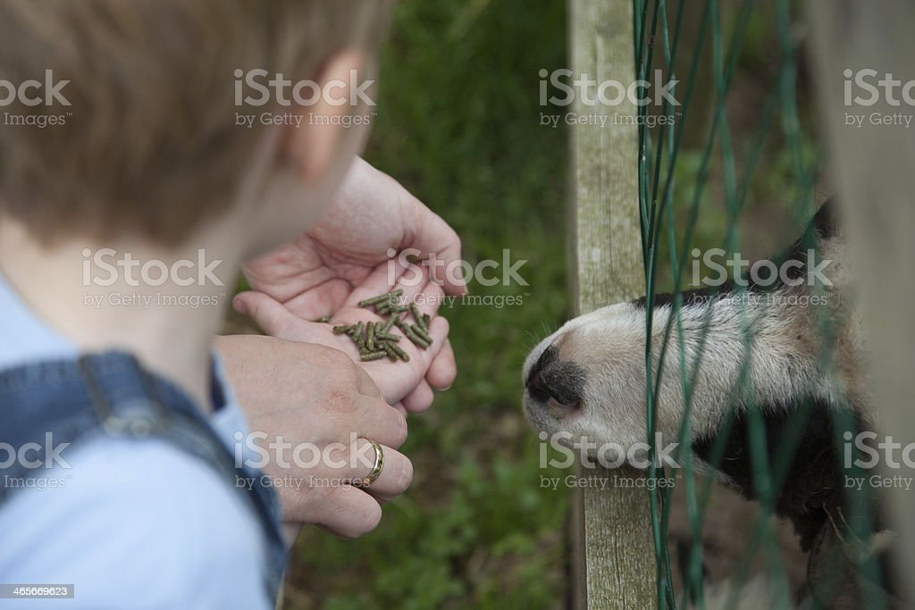 Little Boy feeding goat royalty-free stock photo