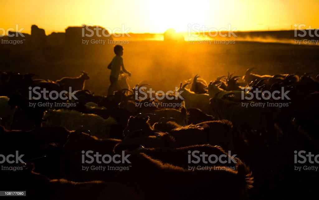 Little Boy Herding Goats at Dusk stock photo