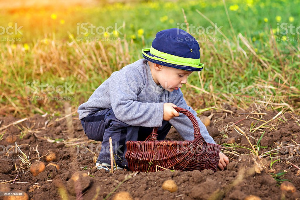Little boy picking a wicker cart potato field stock photo