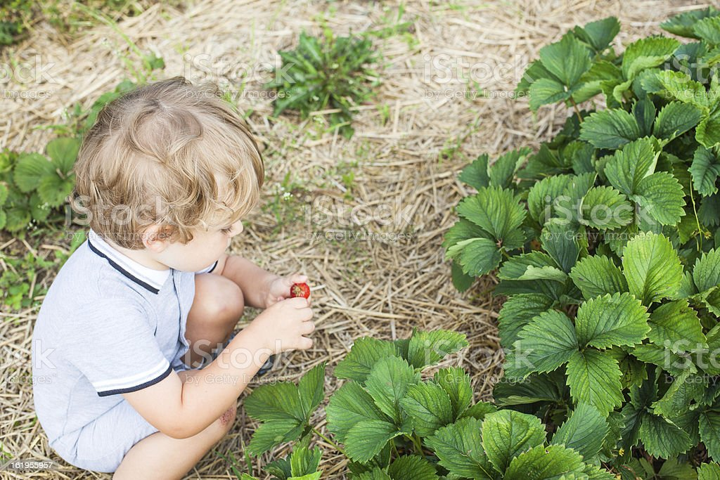 Little boy two years on strawberry farm royalty-free stock photo