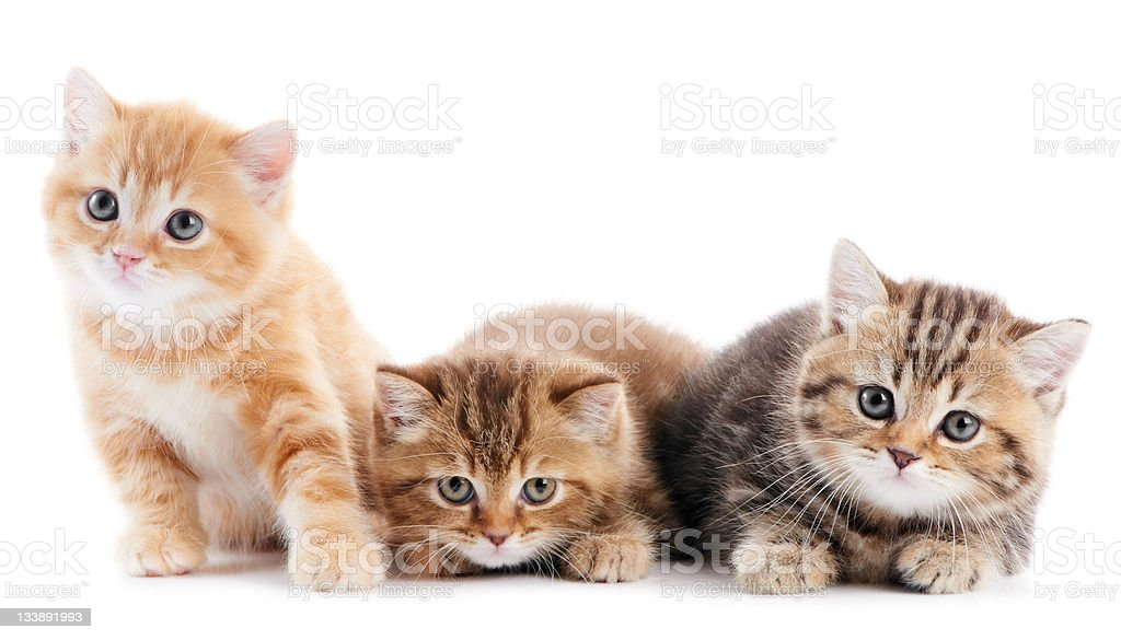 little british shorthair kittens cat stock photo