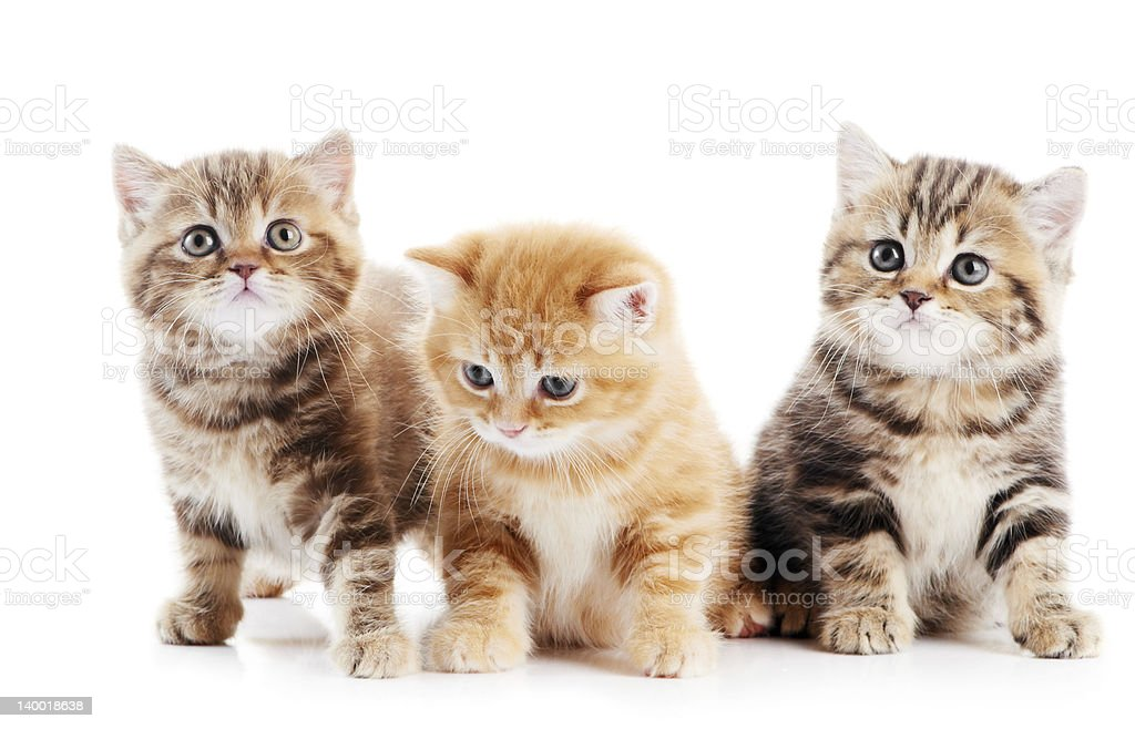 little british shorthair kittens cat stock photo