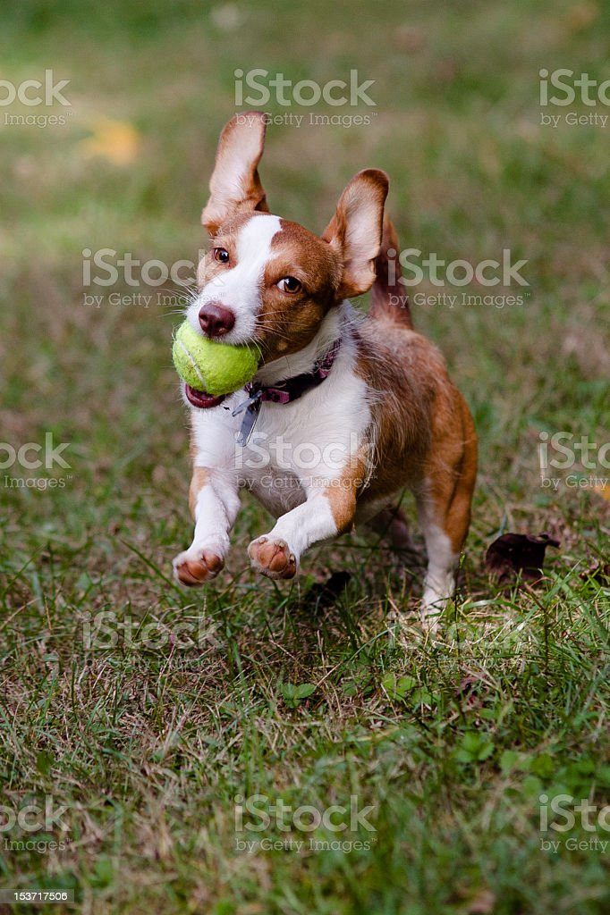 Little brown and white dog running with ball royalty-free stock photo