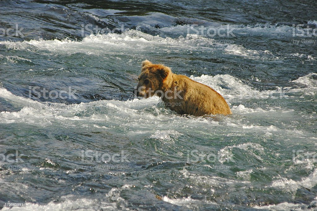 Little Brown Bear royalty-free stock photo