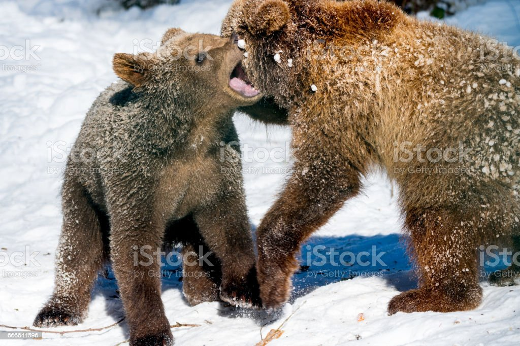 Little brown bear(s) playing and fighting in snow stock photo