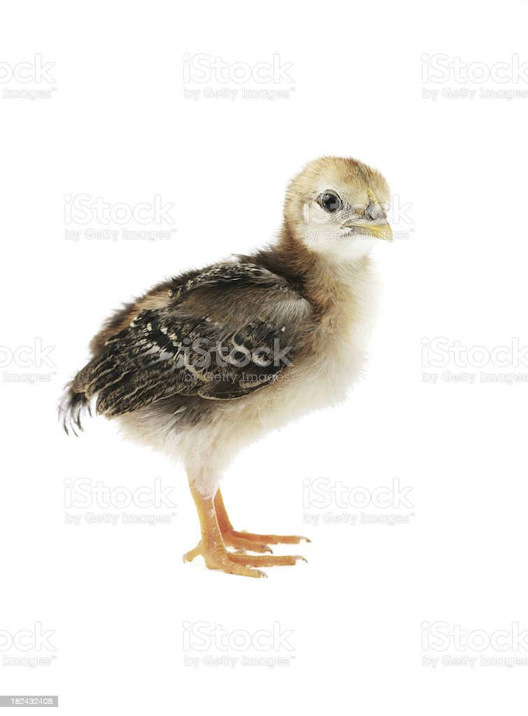 Little brown chicken royalty-free stock photo