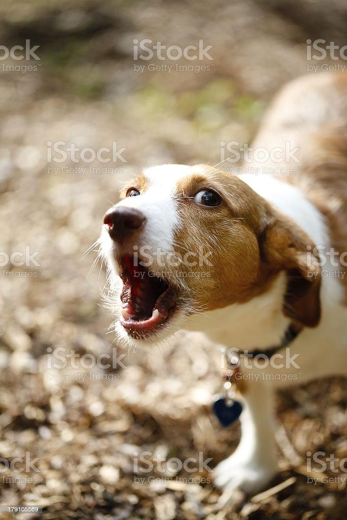 little brown dog barking stock photo
