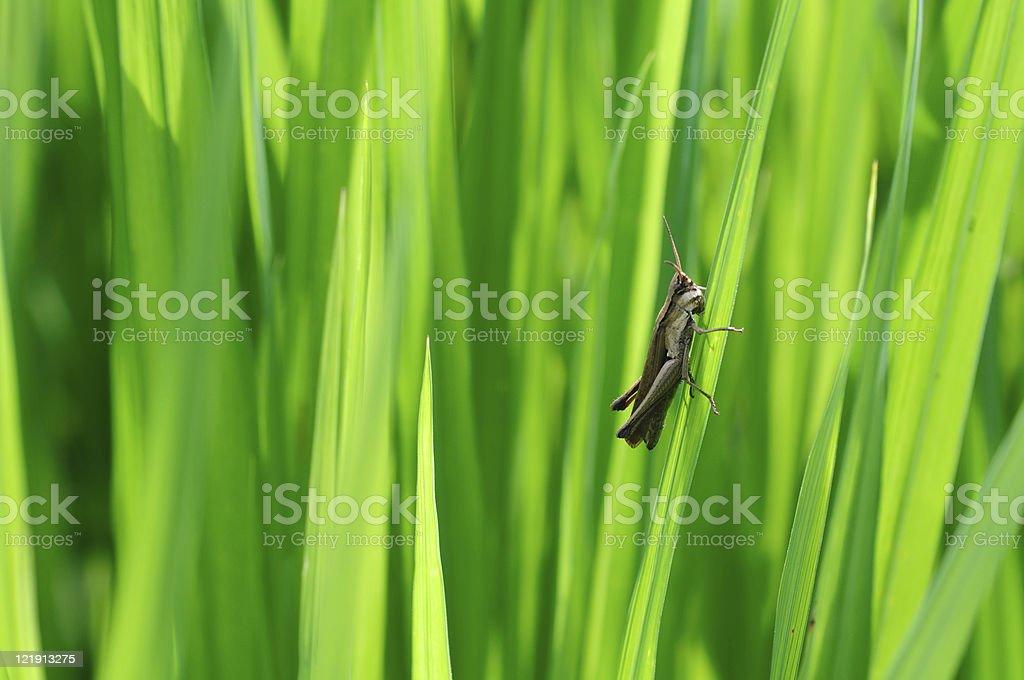Little brown grasshopper royalty-free stock photo