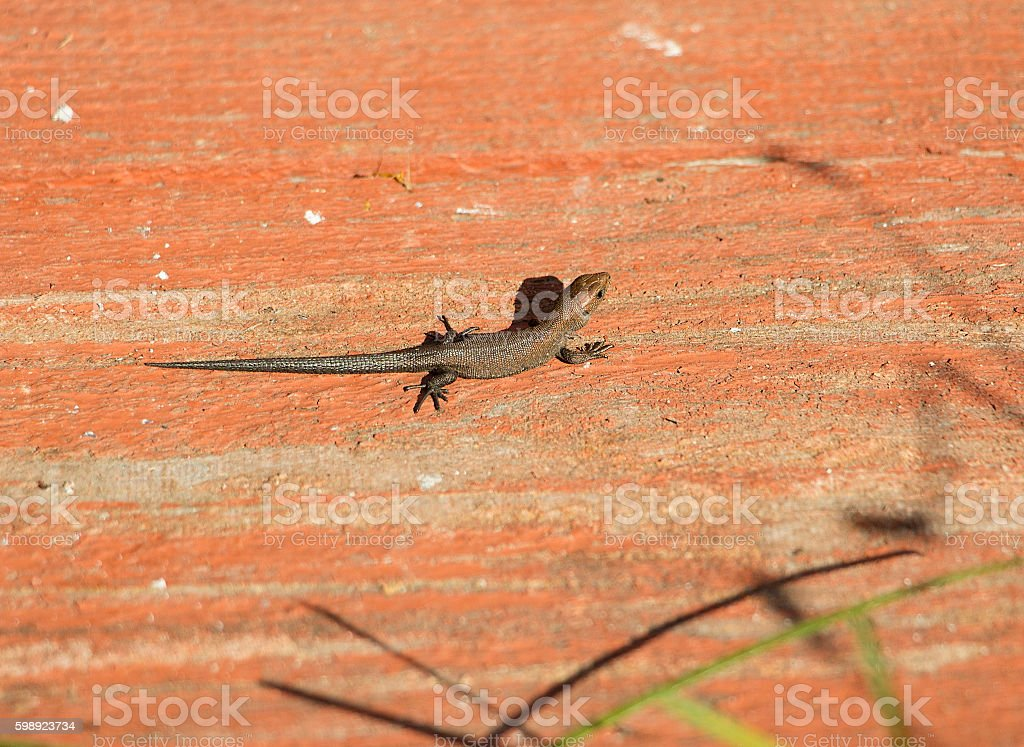 Little brown lizard on the board stock photo