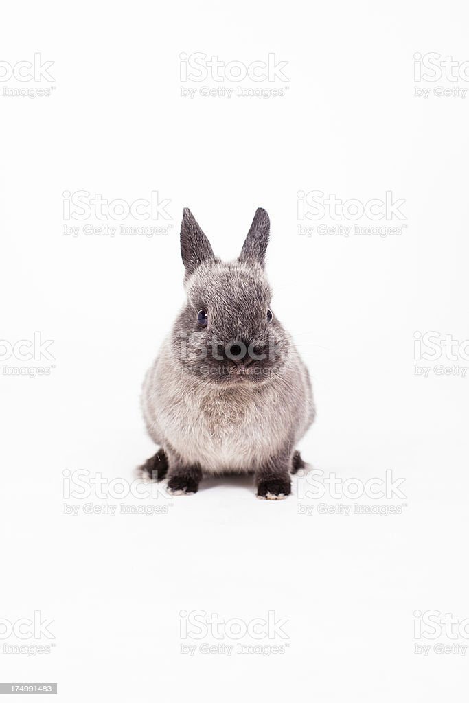 Little Bunny royalty-free stock photo