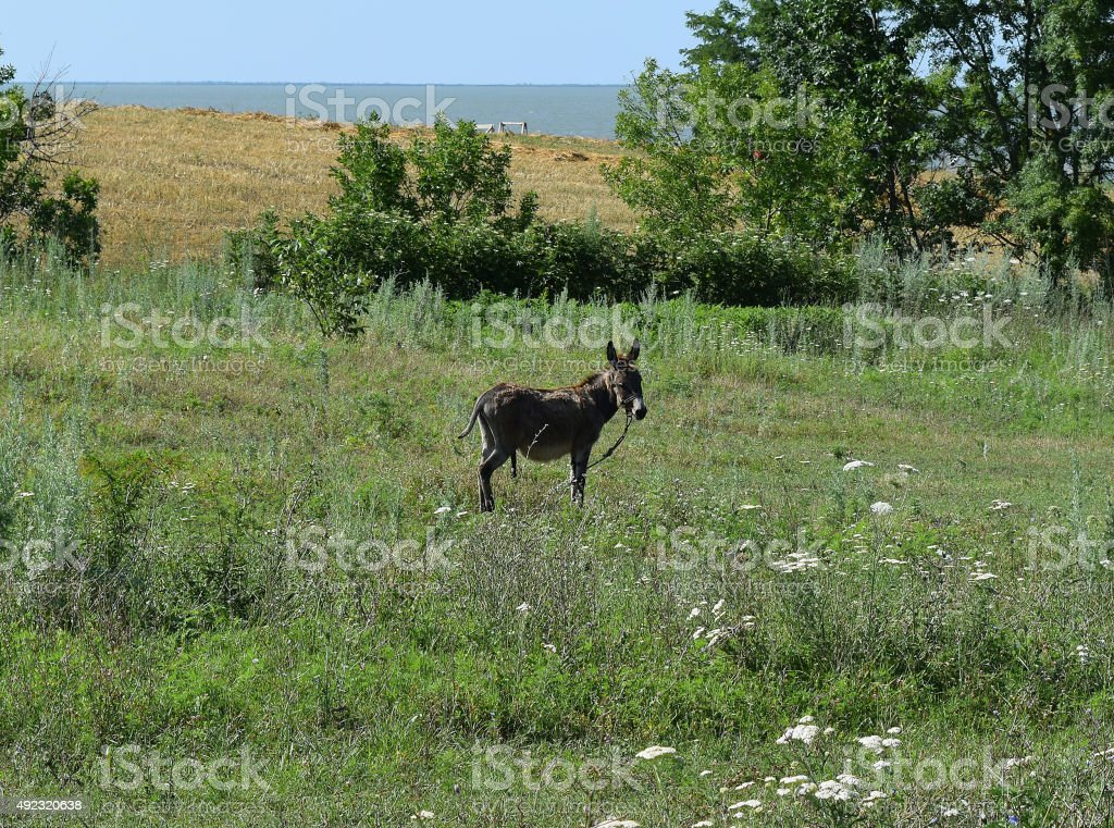Little burro stock photo