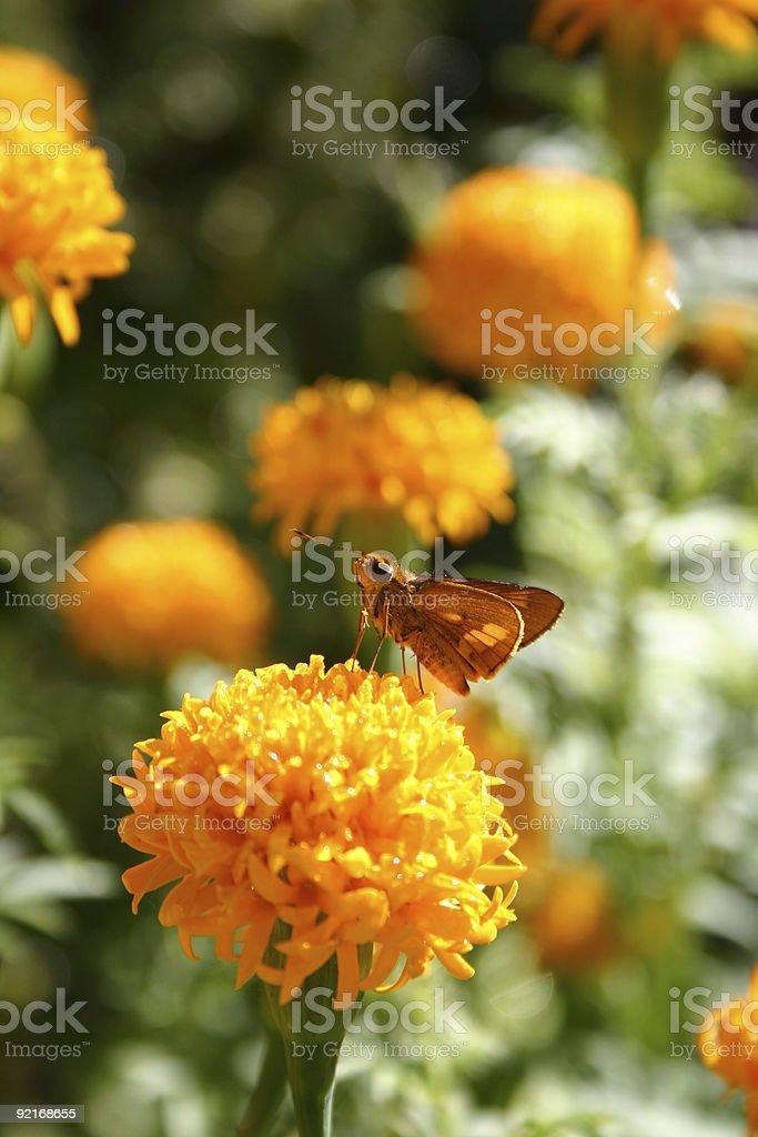 little butterfly on bright orange marigold flower in sunlight stock photo