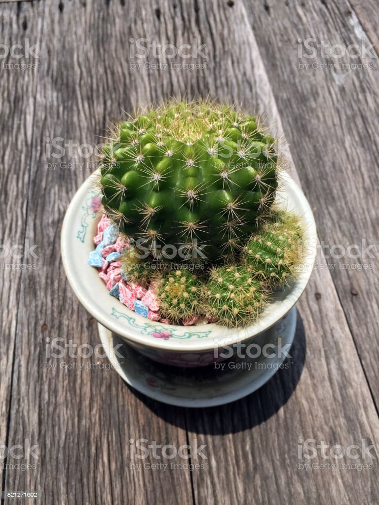 Little cactus in small pot on the wood table with sunshine. stock photo