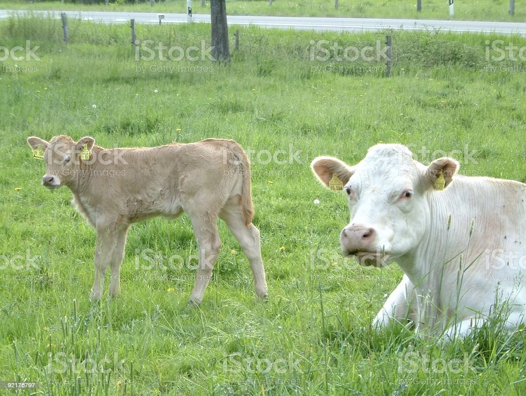 little calf and mother royalty-free stock photo