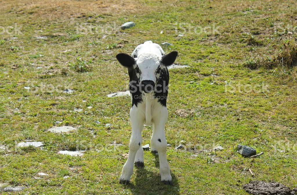 little calf in the meadow stock photo