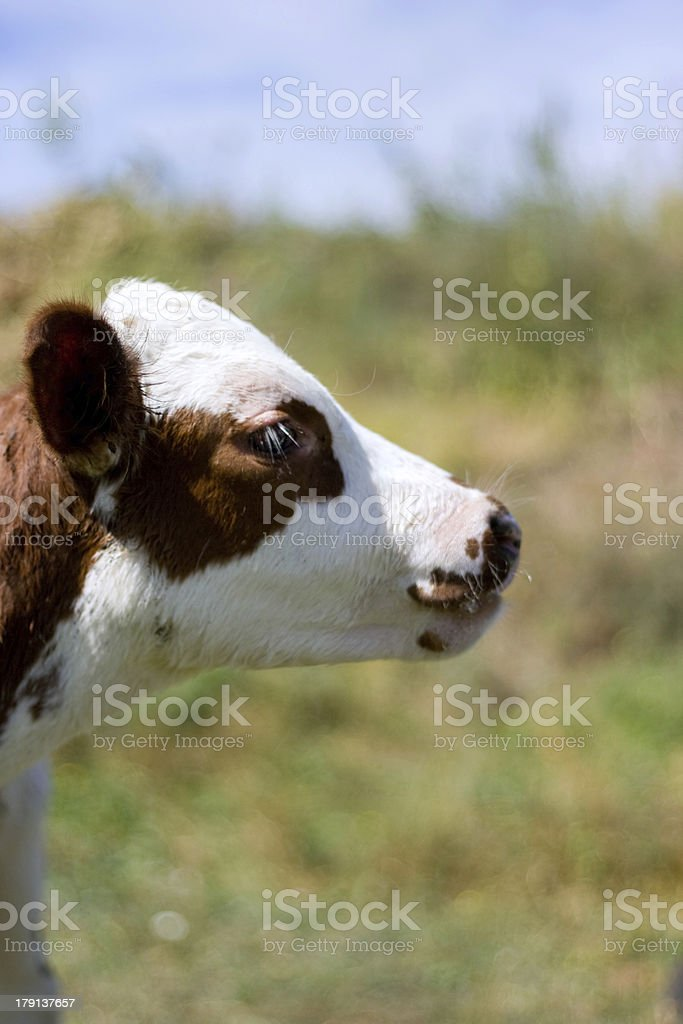 Little calf on the meadow royalty-free stock photo