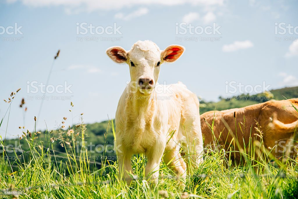 Little calf stock photo