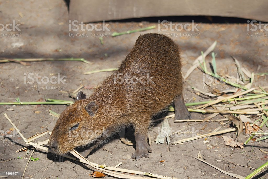 Little capybara royalty-free stock photo