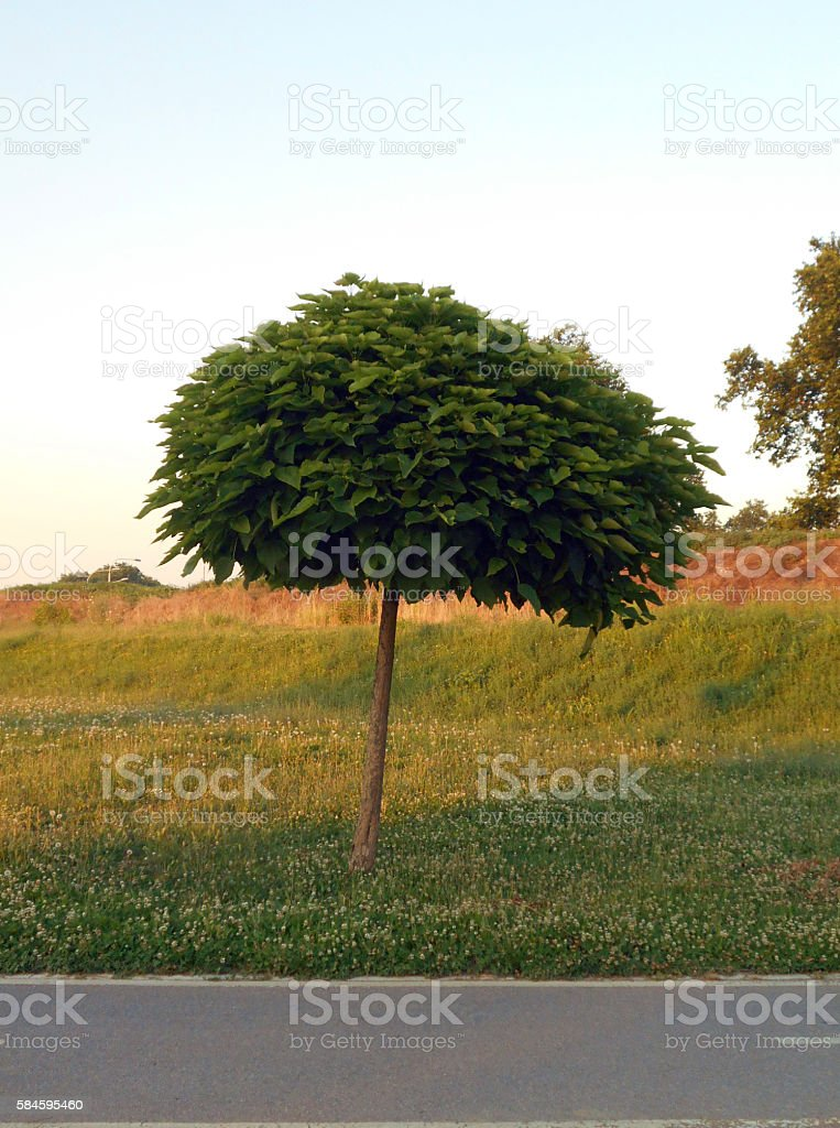 Little Catalpa tree (Cigartree) by the bicycle lane stock photo
